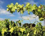 Lau - Malhada Alta - Terreno rústico de 1,5 hectares com vinha a produzir